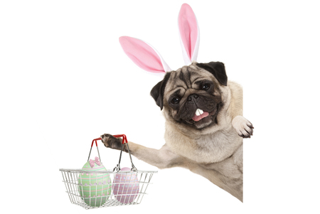Happy Easter bunny pug dog with bunny teeth and pastel easter eggs in wire metal shopping basket, isolated on white background Stockfoto - 121069597
