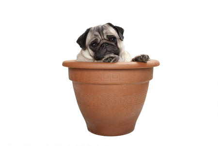 cute sweet pug dog sitting in terracotta plant pot, isolated on white background Stockfoto - 121069605