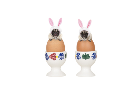 two cute easter pug dogs, sitting in eggs in egg-cup, isolated on white background Stockfoto - 121069601