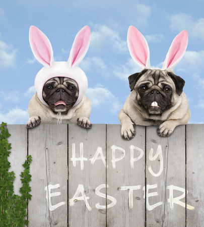 two cute pug puppy dogs, dressed up as easter bunny, hanging with paws on wooden fence, with blue sky background Imagens - 121069607
