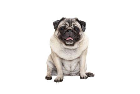 entzückender süßer lächelnder Mopswelpenhund, der sich mit herausgestreckter Zunge hinsetzt, isoliert auf weißem Hintergrund