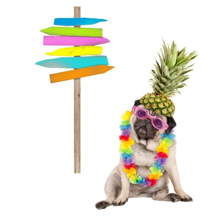 summer pug dog sitting down with colorful Hawaiian flower garland, pink sunglasses and pineapple hat, next to wooden beach sign post on pole, isolated on white background