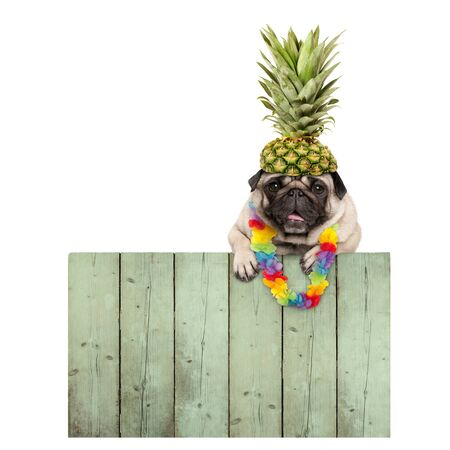 frolic smiling tropical summer pug puppy dog with flower garland, hanging with paws on reclaimed wooden fence board, isolated on white background Stockfoto - 126368719