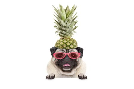 portrait of cute funny frolic summer pug puppy dog with sunglasses and pineapple hat, hanging with paws on blank white banner, isolated 版權商用圖片