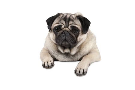 cute little pug puppy dog, looking watchful waiting, hanging with paws on white banner, isolated from background