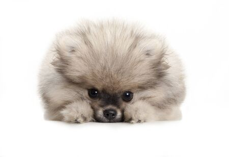 cute pomeranian spitz puppy dog, lying down on white floor, looking shy Stockfoto - 135982644