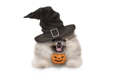 happy pomaranian spitz Halloween puppy dog, with witch hat and orange pumpkin basket hanging with paws on white banner, isolated Archivio Fotografico - 131955501