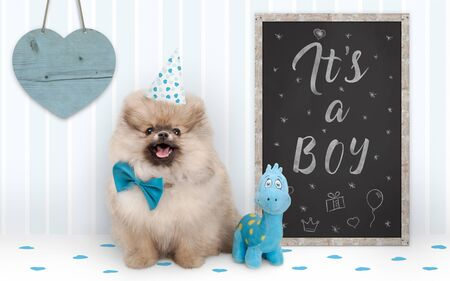 cute baby boy pomeranian puppy dog sitting next to blackboard with text it's a boy, with blue decoration and wooden heart