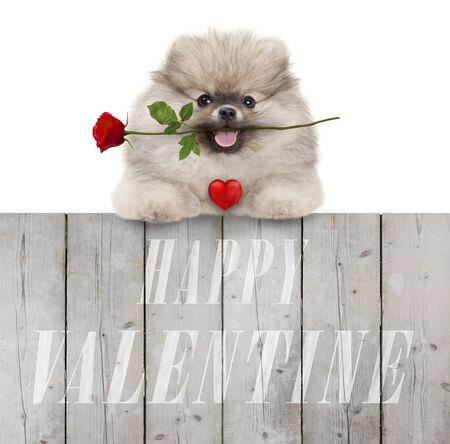cute smiling pomeranian spitz puppy dog with red heart and rose, and text happy valentine, hanging with paws on wooden fence, isolated on white background Stockfoto - 138140008