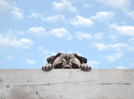 cute shy peekaboo pug puppy dog peeking, with paws on wooden fence banner, with blue sky background Archivio Fotografico - 140937777
