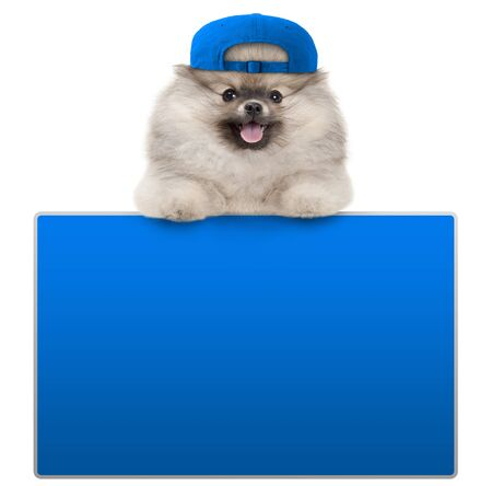 cute furry pomeranian dog with blue cap, leaning with paws on blank blue social media sign, isolated on white background Stockfoto - 146267127