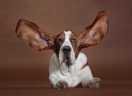 basset: basset hound with flying ears