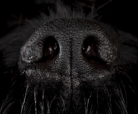 snout: Snout dog, russian terrier