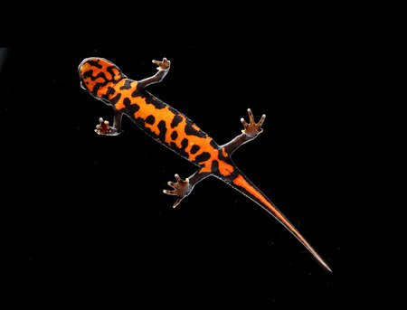 salamandre: Orange and black triton salamander in studio