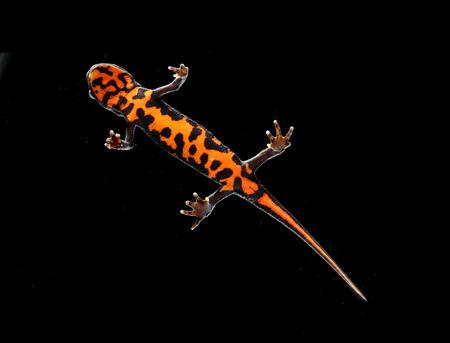 salamandra: salamandra tritón naranja y negro en el estudio