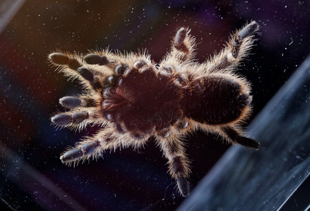 arachnida: tarantula texture from under