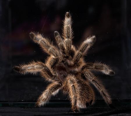 tarantula portrait
