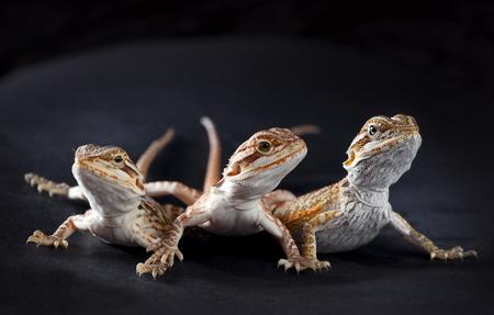 Three pogonas