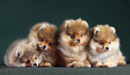 Vier Pomerian hond erg schattig