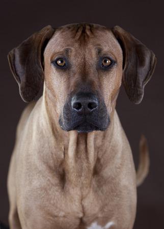 ridgeback: rhodesian ridgeback male portrait