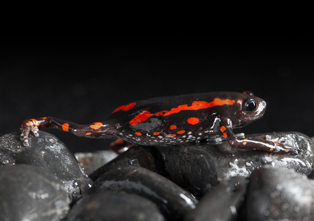 dendrobates: Black and Orange frog in studio with dark background