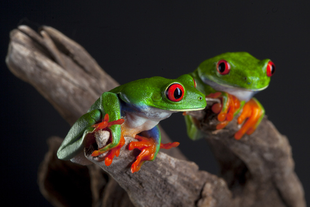 dendrobates: Two Red Eye frog in studio with dark background