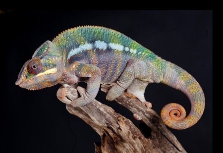 Panther Chameleon portrait in studio with black background