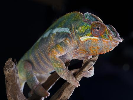 studio zoo: Panther Chameleon portrait in studio with black background
