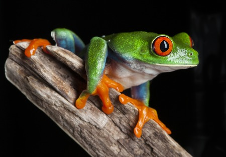 dendrobates: Red Eye frog in studio with dark background Stock Photo
