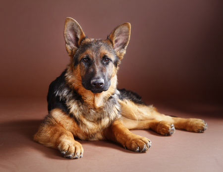 Duitse herder hond portret in studio met bruine achtergrond