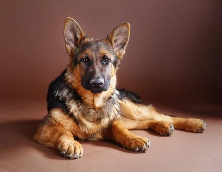 Retrato de perro pastor alemán en estudio con fondo marrón