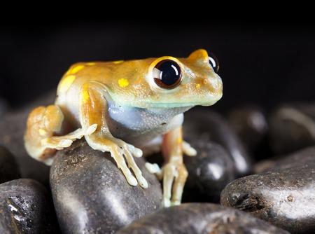 Leptopelis Uluguruensis frog in studio with black background Stock Photo