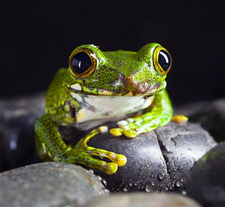 Leptopelis Vermiculatus frog in studio with dark background