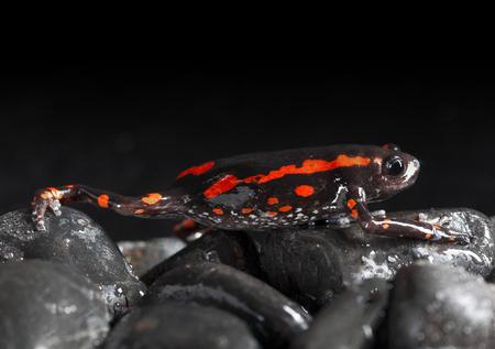 Black and Orange frog in studio with dark background