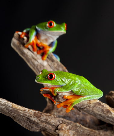 Two Red Eye frog in studio with dark background