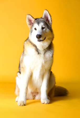 Siberian husky dog in studio with yellow background