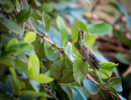 Hummingbird in a tree Stock Photo