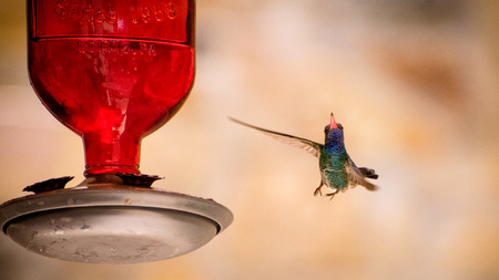 Hummingbird  looking to the camera