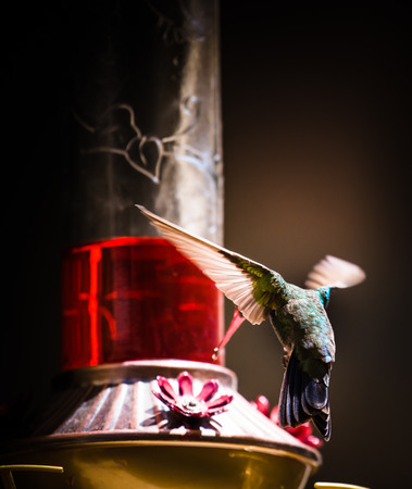 Hummingbird with his wings open Stock Photo