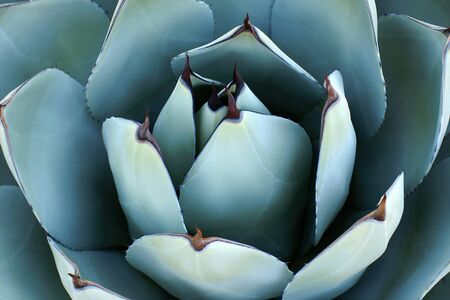 Overhead closeup of agave plant. Sharp, pointed, succulent agave leaves forming an abstract pattern. Background agave leaves with sharp thorns.