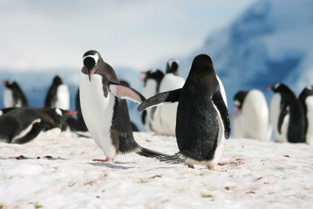 gentoo penguin: Give me five Stock Photo
