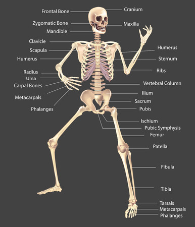 Human Skeleton Vector illustration isolated on a white background useful for creating medical and scientific materials. Anatomy, medicine and biology concept. Illusztráció