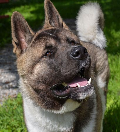 pure breed: Pure breed American Akita waiting for a play Stock Photo