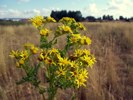 Santiago grass is a wildflower plant