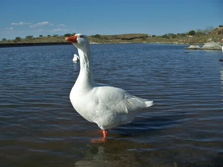 A nice white goose in the water