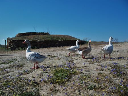 A flock of white and brown geese walking across the field 版權商用圖片