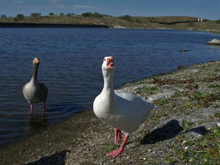 Two beautiful geese, one white and one gray in the water 版權商用圖片