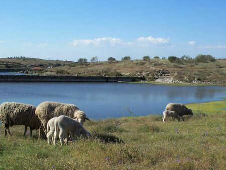 A flock of sheep grazing in the field near the water