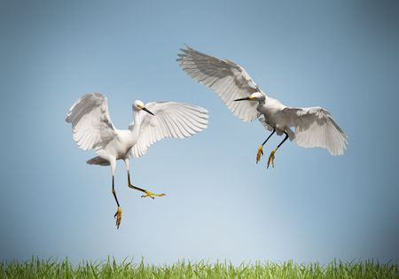 crane: love - pair of cranes on a meadow