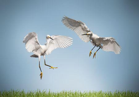 love bird: love - pair of cranes on a meadow